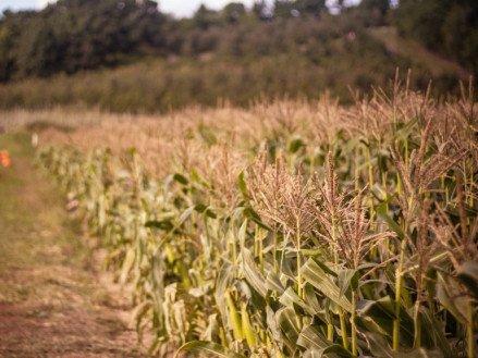 Обзор лучших семян кукурузы