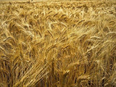 Озима пшениця: характеристика, посів, збирання і зберігання